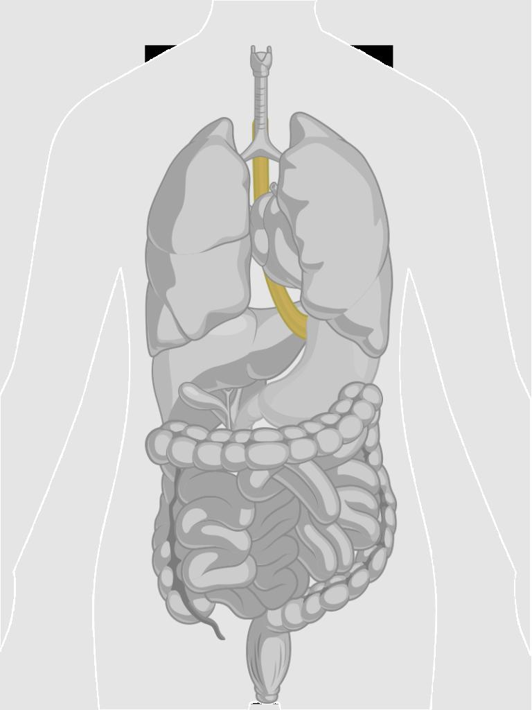 GI-Tract-Esophagus