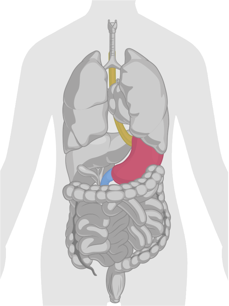 GI-Tract-Esophagus-Stomach-Small-Intestine-Portion