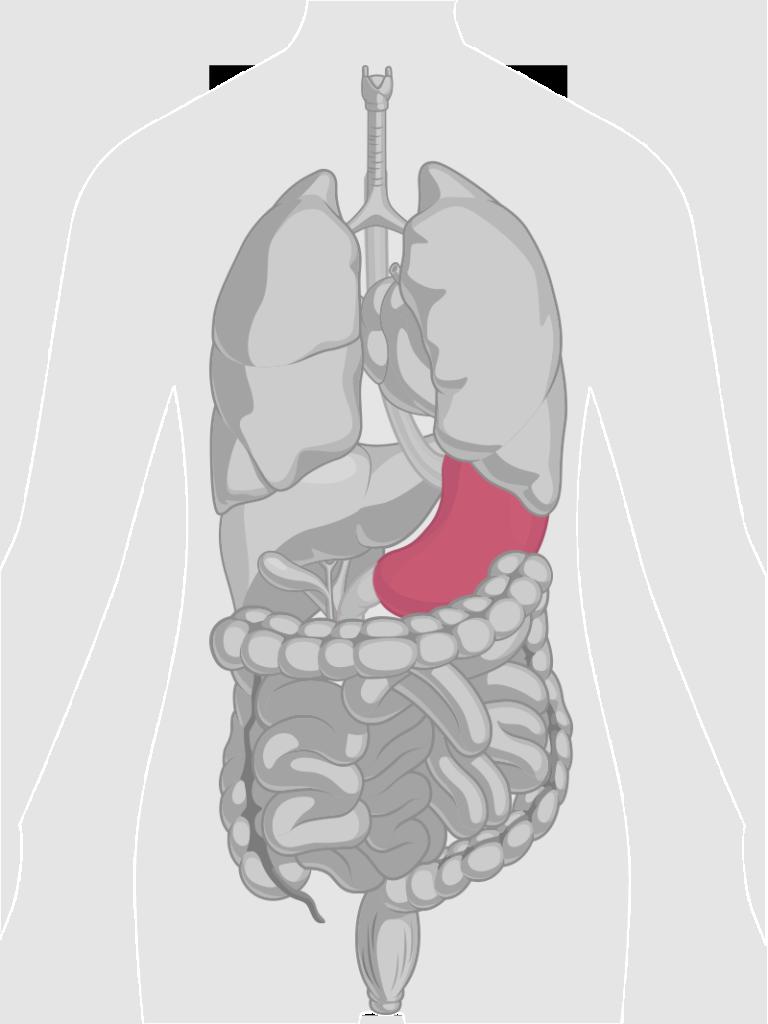 GI-Tract-Stomach